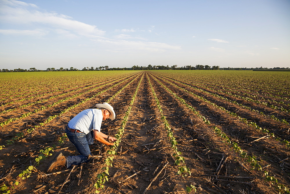 Crop consultant checking plants and conditions of farmland, no till cotton at the seedling stage where corn was previous crop, England, Arkansas, United States of America