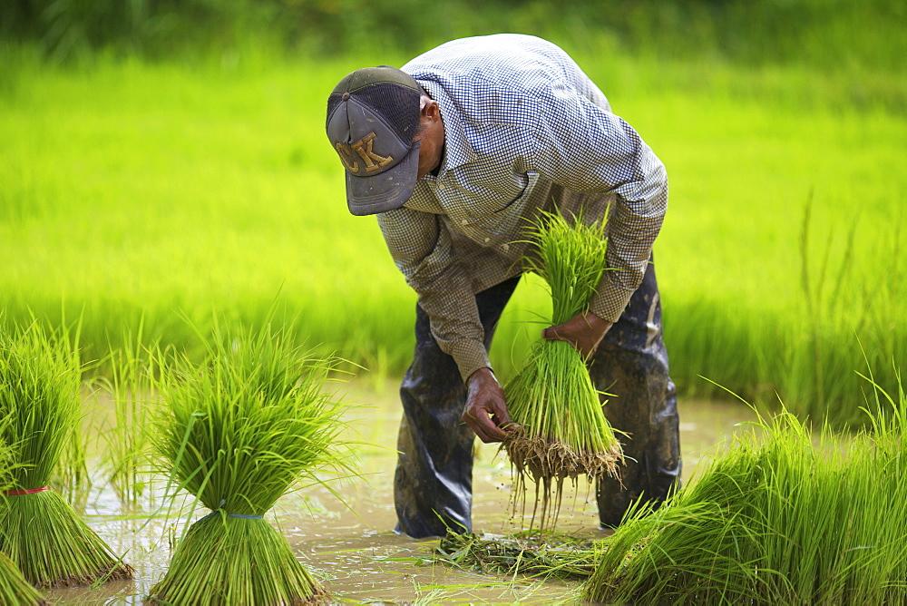 Transplanting rice, Battambang, Cambodia