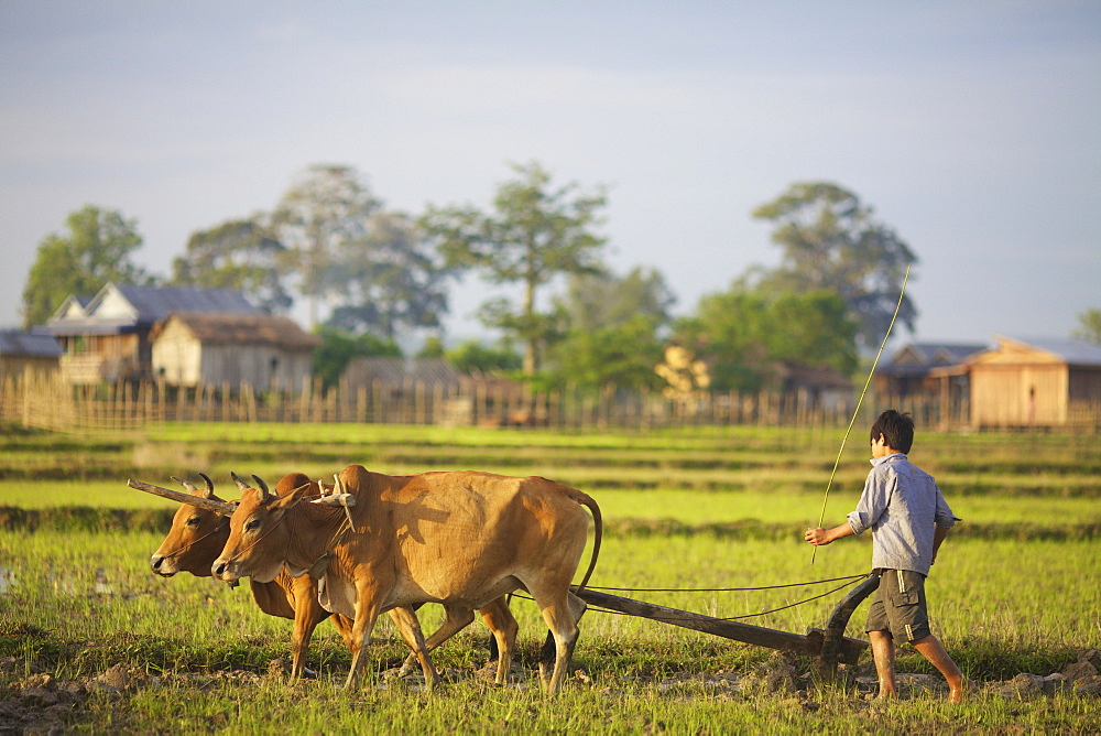 Bunong boys ploughing with Water Buffalo, Mondulkiri, Bangladesh