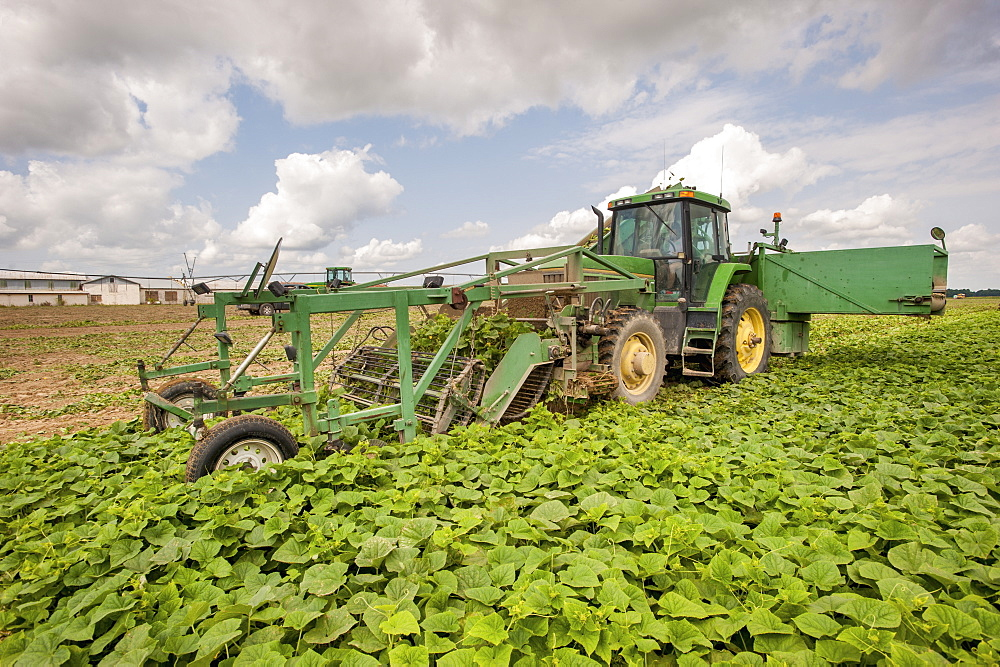 Cucumber harvest, Preston, Maryland, United States of America