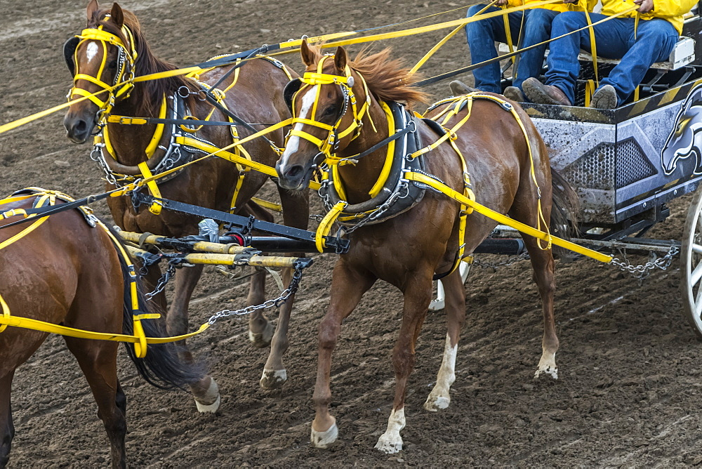 Cowboys riding in a carriage behind a team of horses at the Calgary Stampede, Calgary, Alberta, Canada