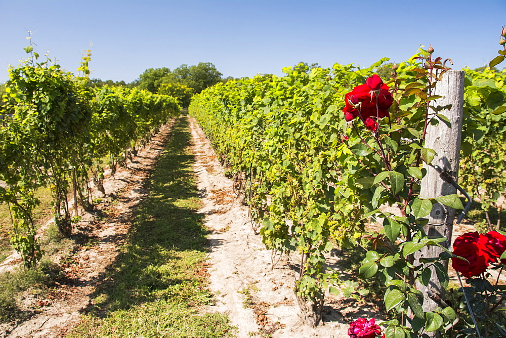 Rows of green vines with bright red roses in the foreground., Waupoos, Ontario, Canada
