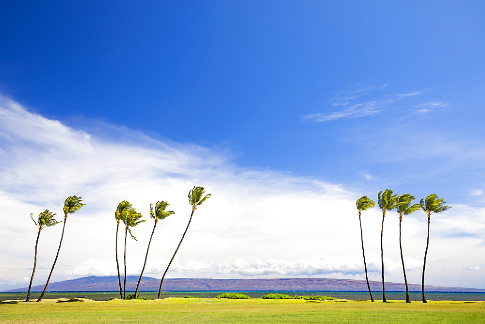 The island of Lanai sits behind these palm trees, viewed from Kakahaia Beach Park on the island of Molokai, Molokai, Hawaii, United States of America