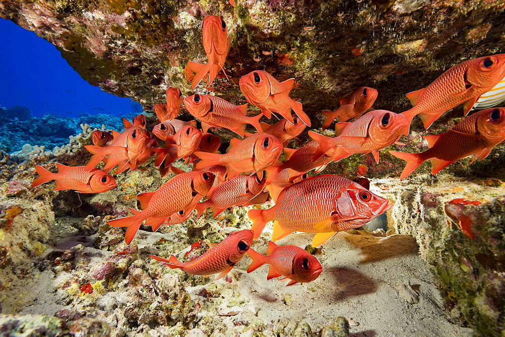 Hawaiian reef fish incuding a Longjaw Squirrelfish (Sargocentron spiniferum) and a school of Bigscale Soldierfish (Myripristis berndti), Hawaii, United States of America