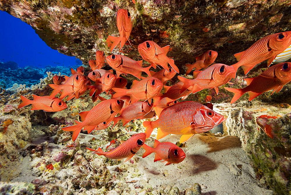 Hawaiian reef fish incuding a Longjaw Squirrelfish (Sargocentron spiniferum) and a school of Bigscale Soldierfish (Myripristis berndti), Hawaii, United States of America