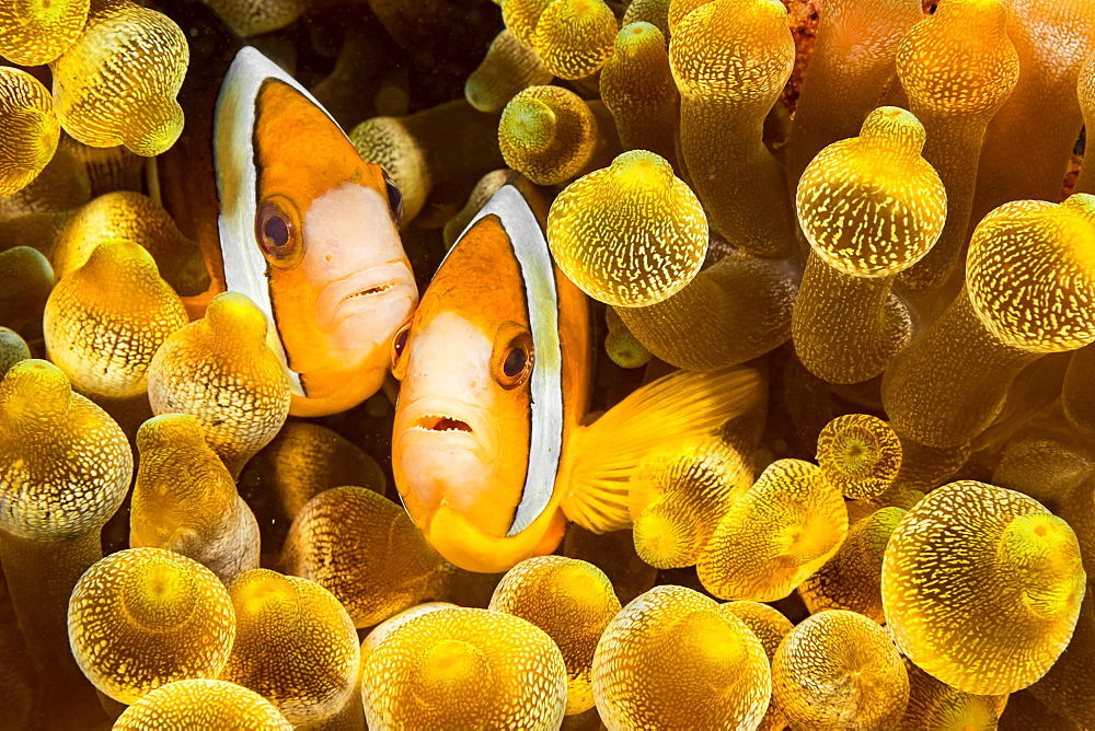 Clark's anemonefish (Amphiprion clarkii) in sea anemone (Entacmaea quadricolor), Philippines - 1116-39715