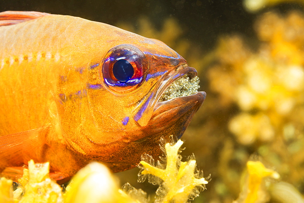 This male Ring-tailed Cardinalfish (Ostorhinchus aureus) is protecting and incubating it's eggs by carrying them in his mouth, Philippines