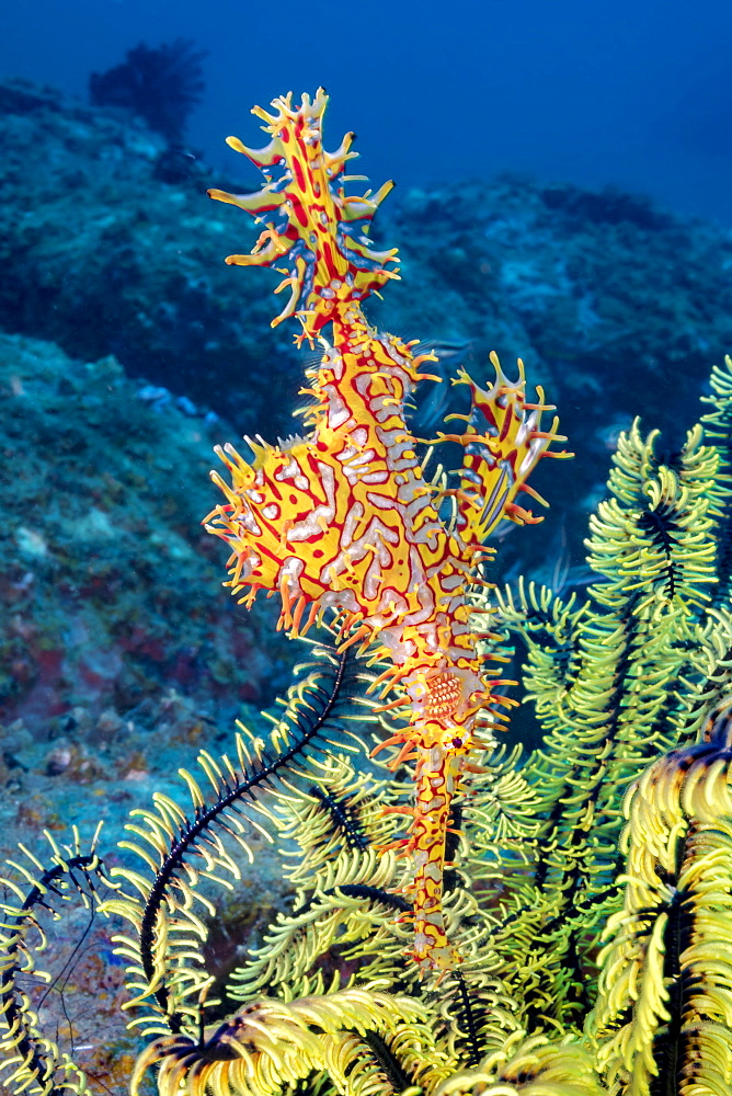 This female Ornate Ghost Pipefish, also known as a Harlequin Ghost Pipefish (Solenostomus paradoxus) is holding it's egg mass in the pouch that is formed by two specialized fins. The eggs can seen through the transparent areas of the fins, Philippines