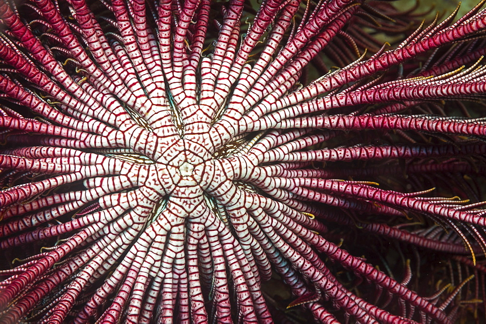 Detail of the center branching arms of a Crinoid or Feather Star (Lamprometra klunzingeri) open and feeding on plankton at night, Philippines