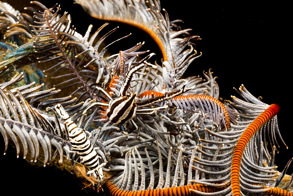 Both a Crinoid Commensal Shrimp (Periclimenes cornutus) and a Crinoid Squat Lobster (Allogalathea elegans) on a crinoid. These tiny crustaceans are commensal on crinoids or feather stars and take their color from the host, Philippines