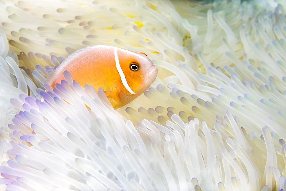 This Pink Anemonefish (Amphiprion perideraion) is in an anemone (Heteractis magnifica) that is bleaching from high ocean temperatures and heat stress, Yap, Micronesia