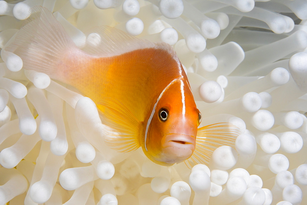 This Pink Anemonefish (Amphiprion perideraion) is in an anemone (Heteractis magnifica) that is bleaching from high ocean temperatures and heat stress, Yap, Micronesia - 1116-39733