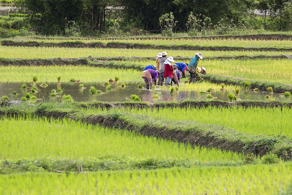People planting rice in fields near Phonsavan, Xiangkhouang, Laos