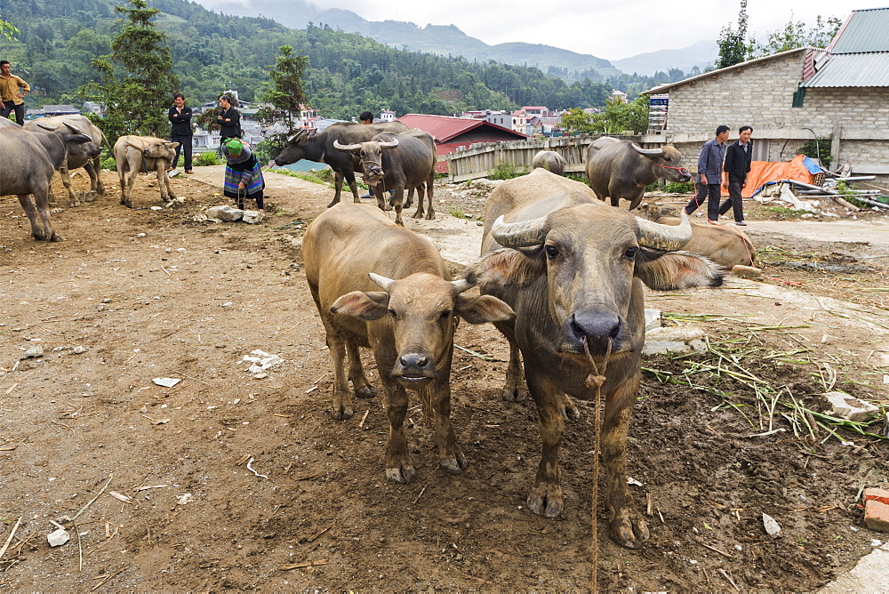Water buffalo for sale at the Sunday market, Bac Ha, Lao Cai, Vietnam