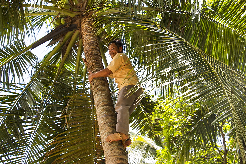 A man, a former Vietcong soldier, climbing a palm tree for coconuts in the Mekong Delta, My Long, Tien Giang, Vietnam