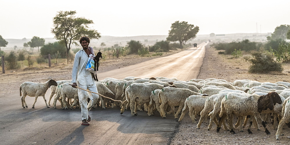 A man herding a flock of sheep across a road, Damodara, Rajasthan, India