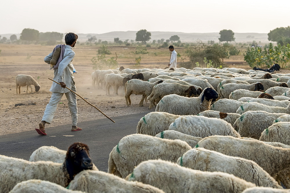 Men herding a flock of sheep along a road, Damodara, Rajasthan, India