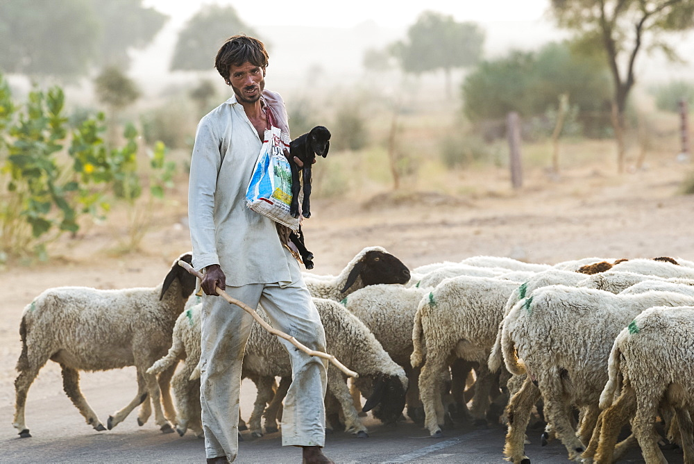 Man herding a flock of sheep along a road, Damodara, Rajasthan, India
