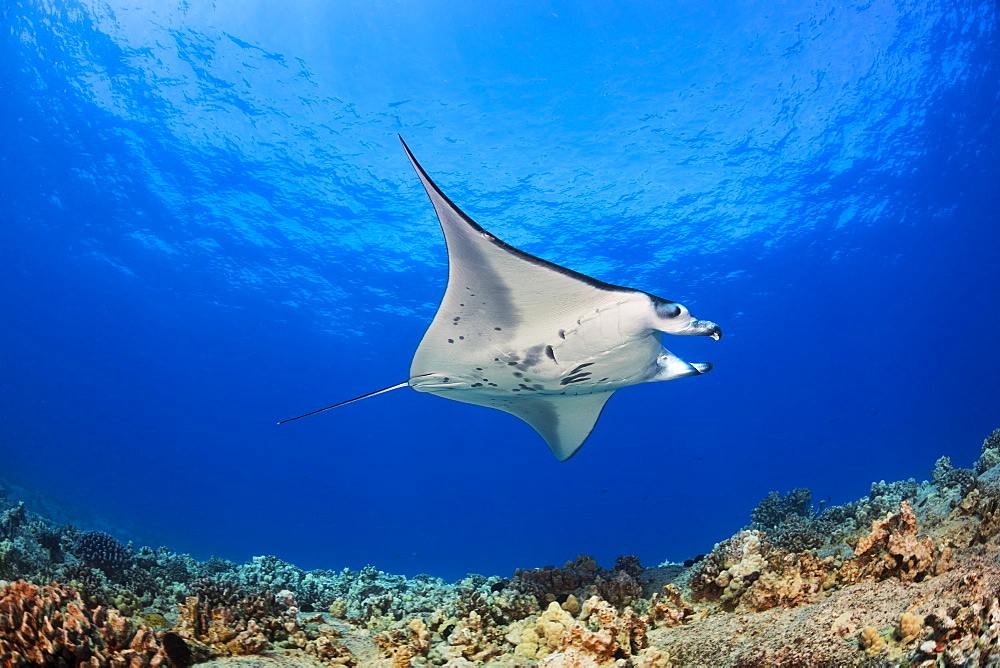 A Reef Manta Ray (Manta alfredi), cruises over the shallows off the Kona Coast. This individual is not feeding and has curled up it's cephalic fins or lobes which, when extended, aid in capturing nutrients, Kona, Island of Hawaii, Hawaii, United States of