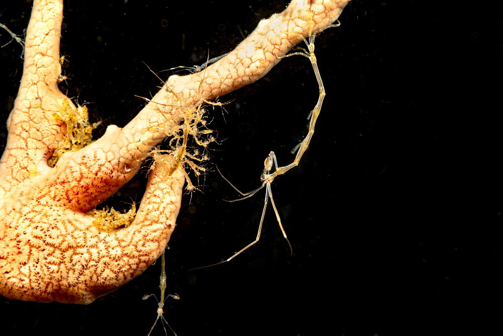 Skeleton shrimp (Caprellide sp.) clinging to a sponge, Dumaguete, Philippines