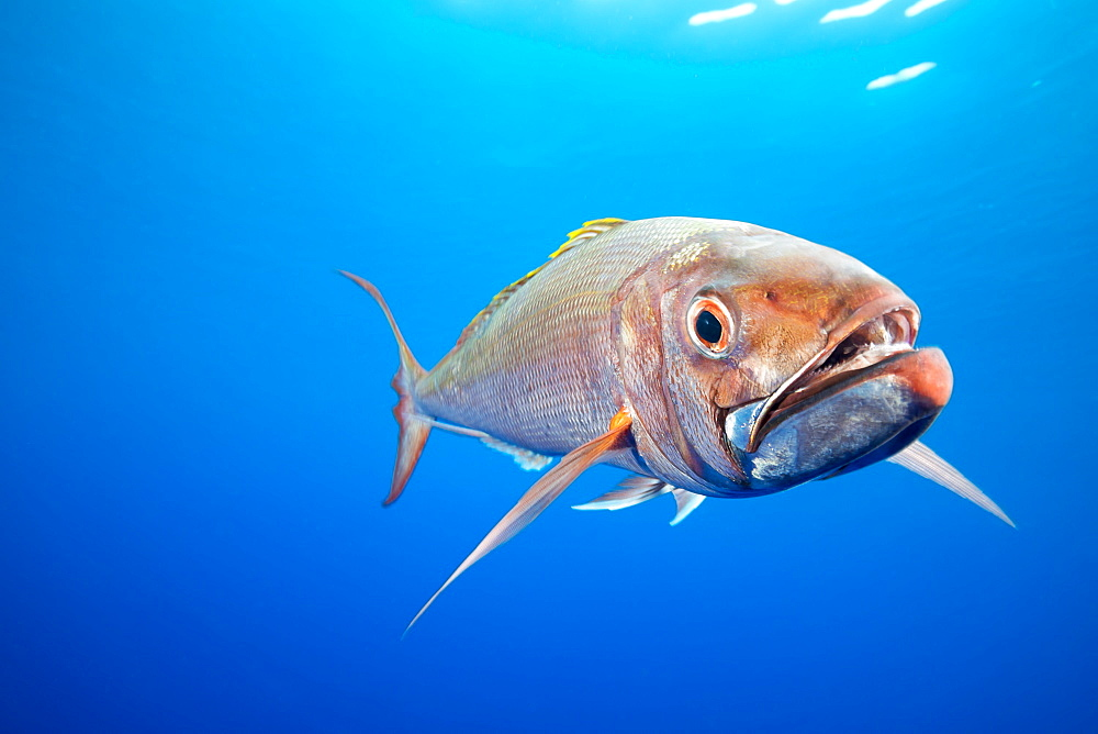 Deepwater Longtail Red Snapper (Etelis coruscans), is also called Ruby Snapper or Scarlet Snapper, but is better known by its Japanese name, Onaga. This fish lives in depths ranging from 700 to 900 feet, Yap, Micronesia
