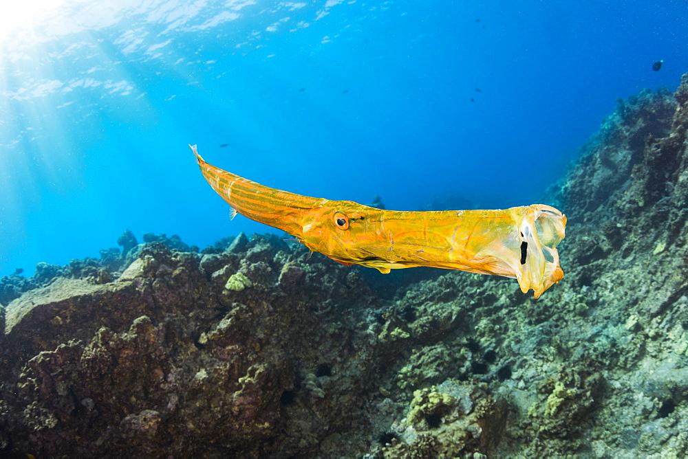 A yawning trumpetfish (Aulostomus chinensis), Hawaii, United States of America