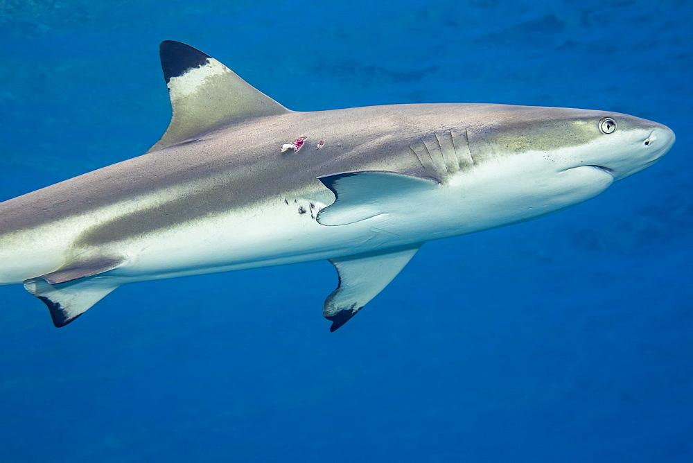 This female Blacktip Reef Shark (Carcharhinus melanopterus) has a bite mark near her pectoral fin. This is likely a wound from a mating attempt, Yap, Micronesia
