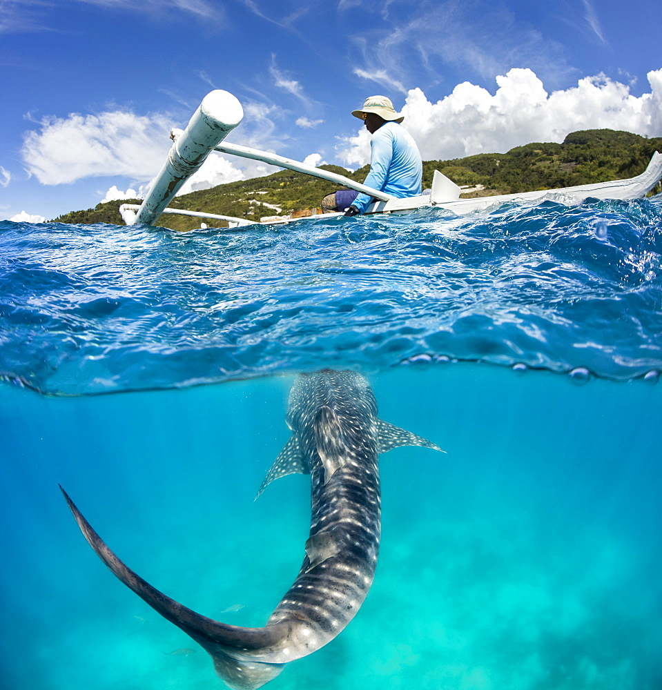 A commercial whale shark encounter with a feeder above on a canoe and a Whale Shark (Rhiniodon typus) below. This is the world's largest species of fish, Oslob, Philippines