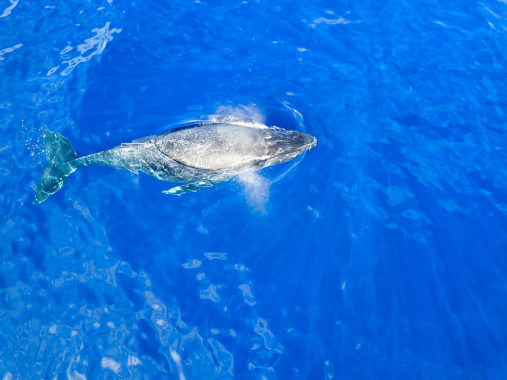 An aerial view of a Humpback Whale (Megaptera novaeangliae) at the surface of the water, Lanai City, Lanai, Hawaii, United States of America