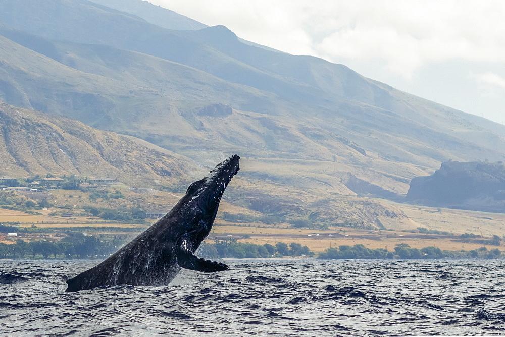 Humpback whale inflated head lunge, Lahaina, Maui, Hawaii, United States of America