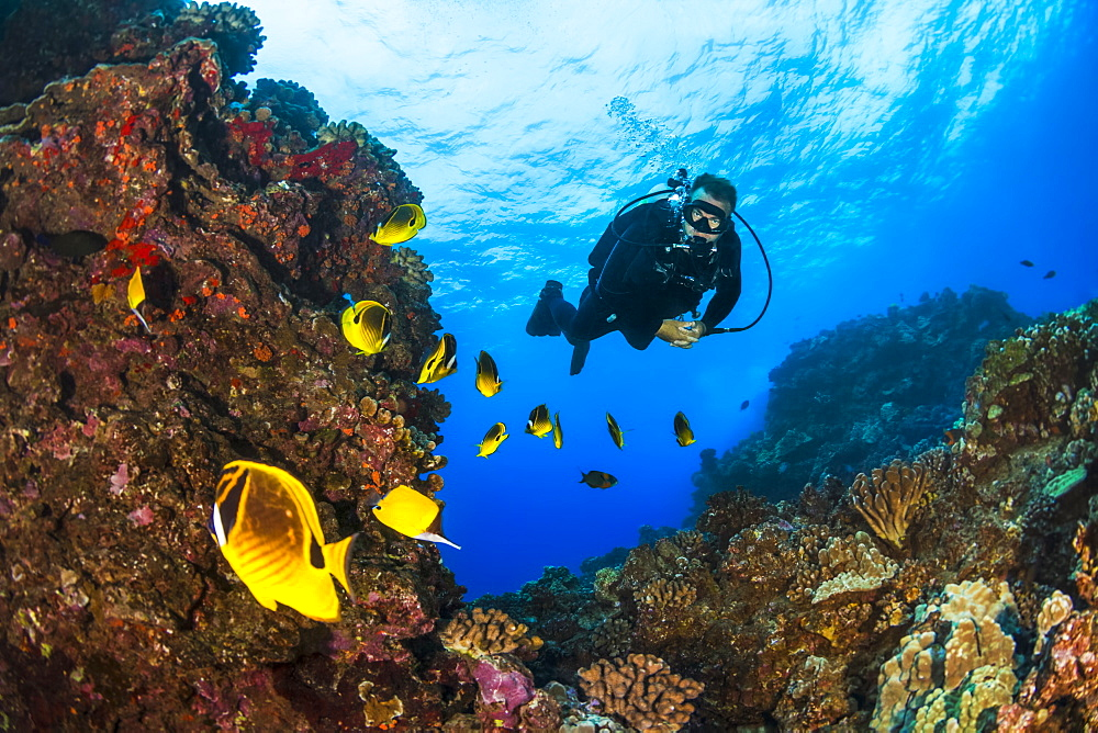 Scuba diver looking at bright Butterflyfish (Chaetodontidae), Lanai City, Lanai, Hawaii, United States of America