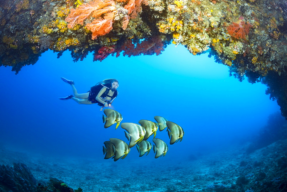Diver and a school of Dusky batfish (Platax pinnatus) at the entrance to a cavern with alcyonarian coral off the island of Gato, Bohol Sea, Philippines