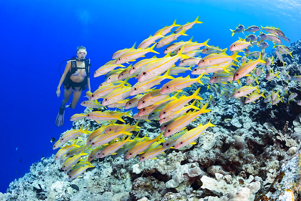Diver and schooling Yellowfin goatfish (Mulloidichthys vanicolensis), Yap, Micronesia