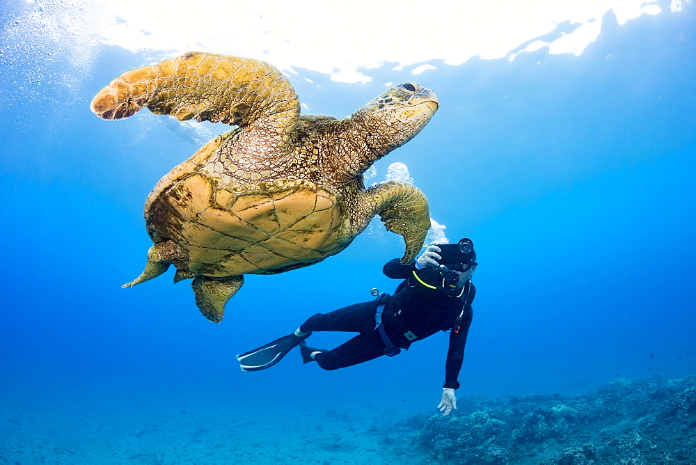 A photographer lines up with his smart phone in a housing on this Green sea turtle (Chelonia mydas) off the coast of Maui, Hawaii, United States of America