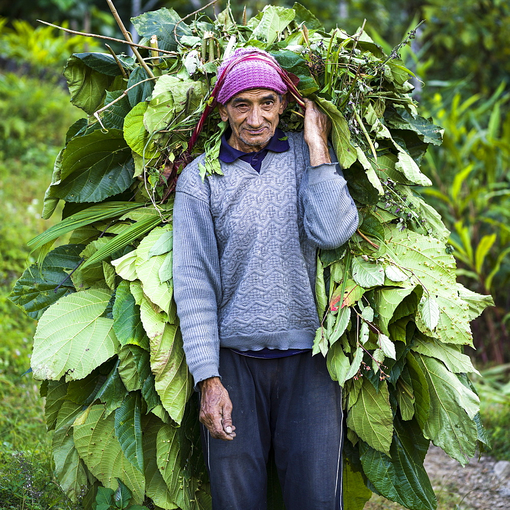 An Indian man pauses to pose for the camera while carrying a large bundle of leaves on his back with a strap across his head, Sikkim, India