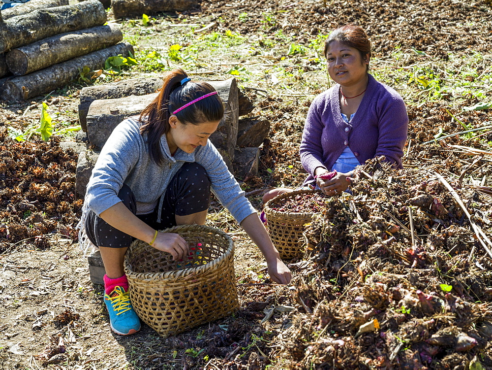 Two Indian women sit on the ground filling baskets as they work together and talk, Sikkim, India