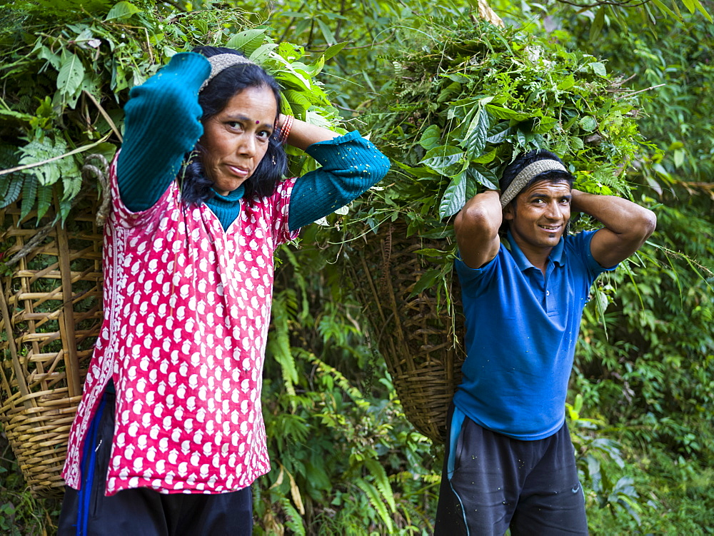 An Indian man and woman pause to pose for the camera as they carry large baskets of leaves on their backs, Radhu Khandu Village, Sikkim, India
