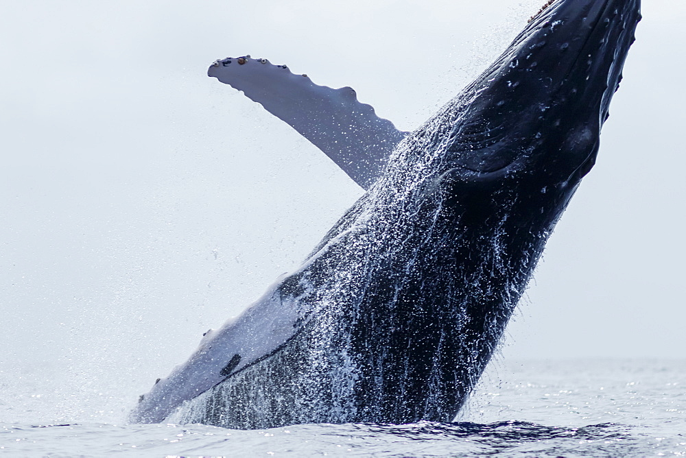 Humpback whale (Megaptera novaeangliae) breaching, Lahaina, Maui, Hawaii, United States of America
