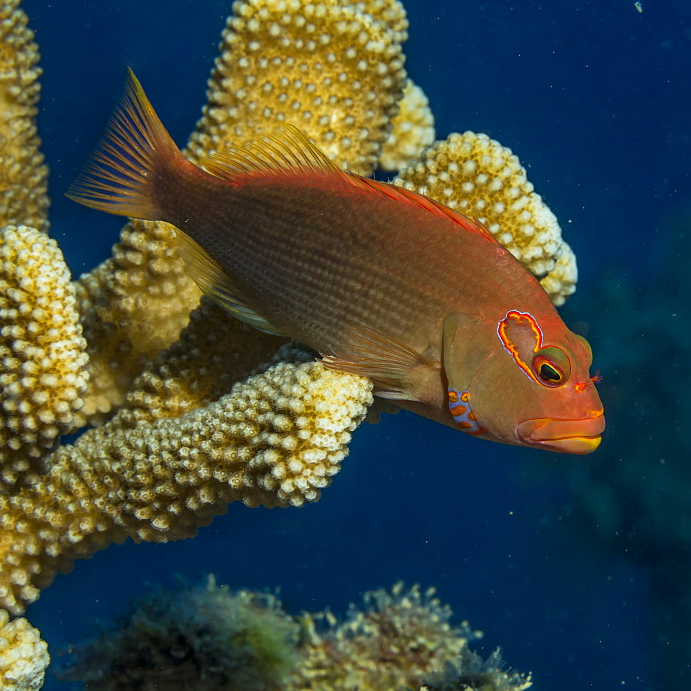 Arc-eye Hawkfish (Paracirrhites arcatus) resting on Antler Coral (Pocillopora eydouxi) off Kauai, Hawaii, during the spring, Kauai, Hawaii, United States of America