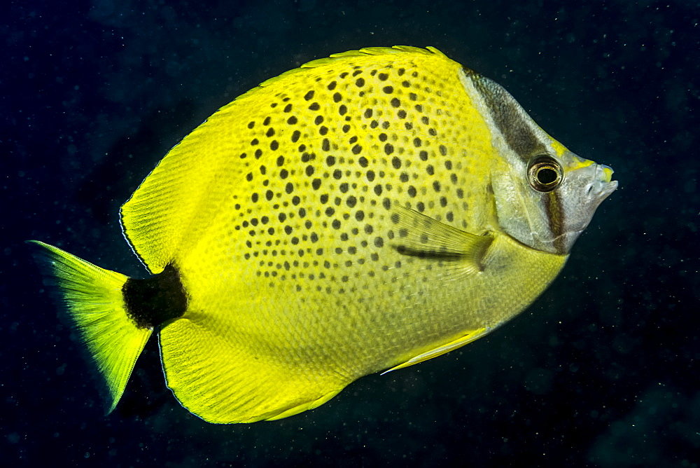 Milletseed Butterflyfish (Chaetodon citrinellus) feeding on plankton off Ni'ihau Island near Kauai, Hawaii, USA during the spring. This fish species is endemic to the Hawaiian Islands, Kauai, Hawaii, United States of America