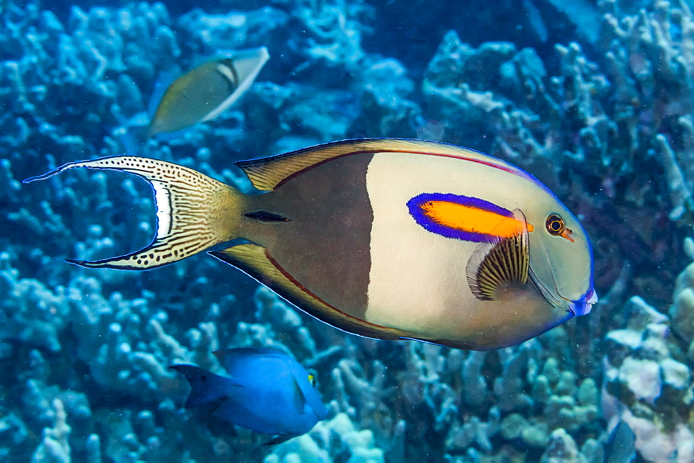 Orangeband Surgeonfish (Acanthurus olivaceus) that was photographed while diving the Kona Coast, Island of Hawaii, Hawaii, United States of America