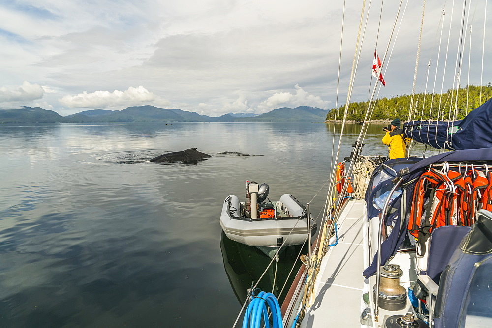 A Humpback whale (Megaptera novaeangliae) surfaces near the sailboat in the Great Bear Rainforest and a man photographs the whale, Hartley Bay, British Columbia, Canada