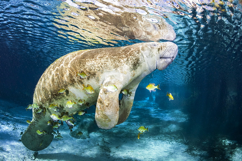 Cichlids school around an endangered Florida Manatee (Trichechus manatus latirostris) at Three Sisters Spring. The Florida Manatee is a subspecies of the West Indian Manatee, Crystal River, Florida, United States of America