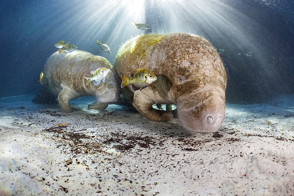Endangered Florida Manatee mother and calf (Trichechus manatus latirostris) gather at Three Sisters Spring. The Florida Manatee is a subspecies of the West Indian Manatee, Crystal River, Florida, United States of America