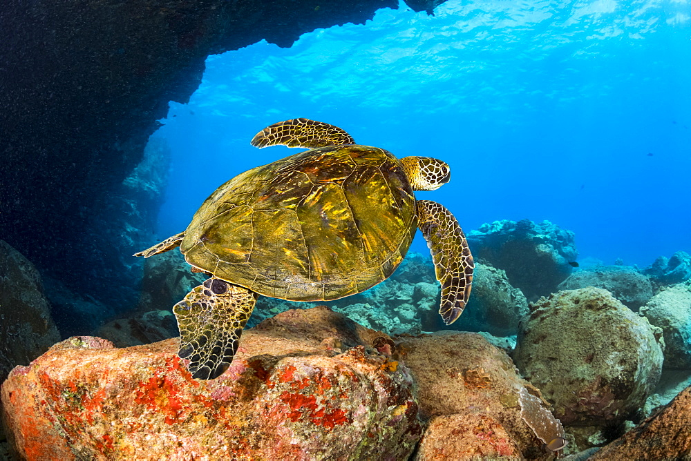 This green sea turtle (Chelonia mydas), an endangered species, is passing under Lone Tree Arch, a dive site on the Kona Coast, Kona, Island of Hawaii, Hawaii, United States of America
