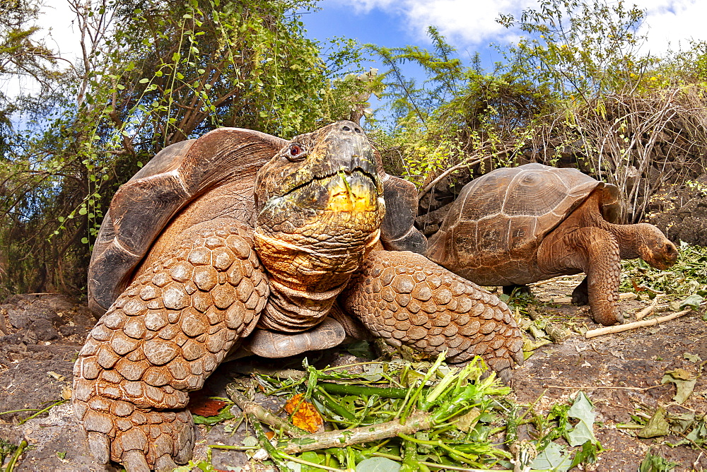 Giant tortoise (Chelonoidis nigra) are the largest living species of tortoise that can grow up to 880 pounds and reach more than 6 feet in length, Santa Cruz Island, Galapagos Islands, Ecuador