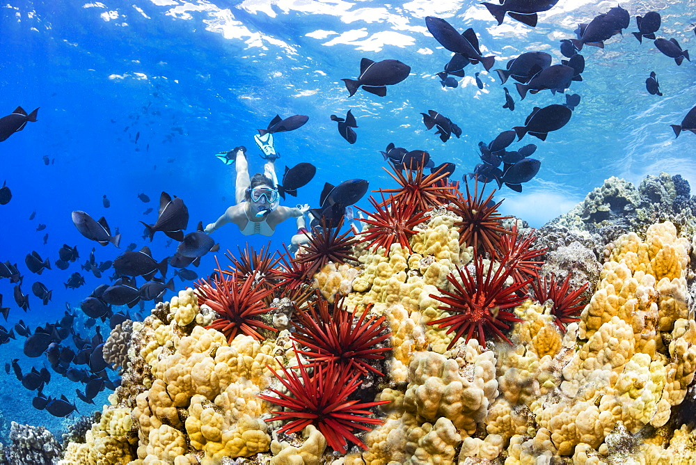 Slate pencil sea urchins (Heterocentrotus mammillatus) colour the foreground of this Hawaiian reef scene with a young woman free diving with black triggerfish (Melichthys niger), Molokini Marine Preserve off the island of Maui, Maui, Hawaii, United States of America