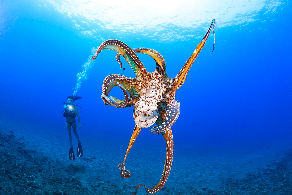 Cautious and curious at the same time, this day octopus (Octopus cyanea) keeps a close eye on the diver, Hawaii, United States of America