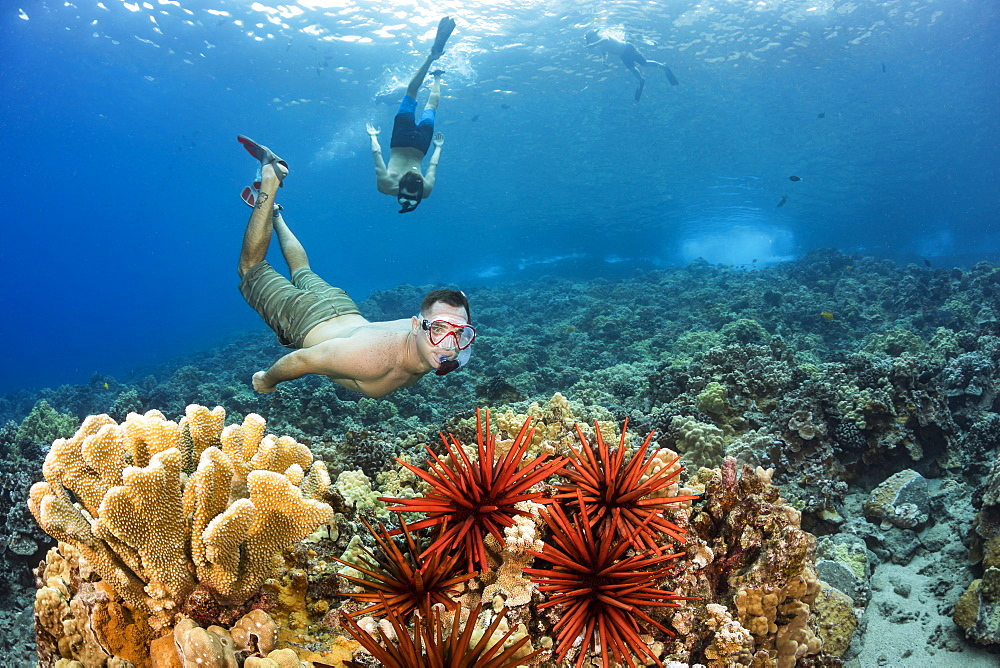 Two men free diving over a Hawaiian hard coral reef with slate pencil sea urchins (Heterocentrotus mammillatus), Hawaii, United States of America