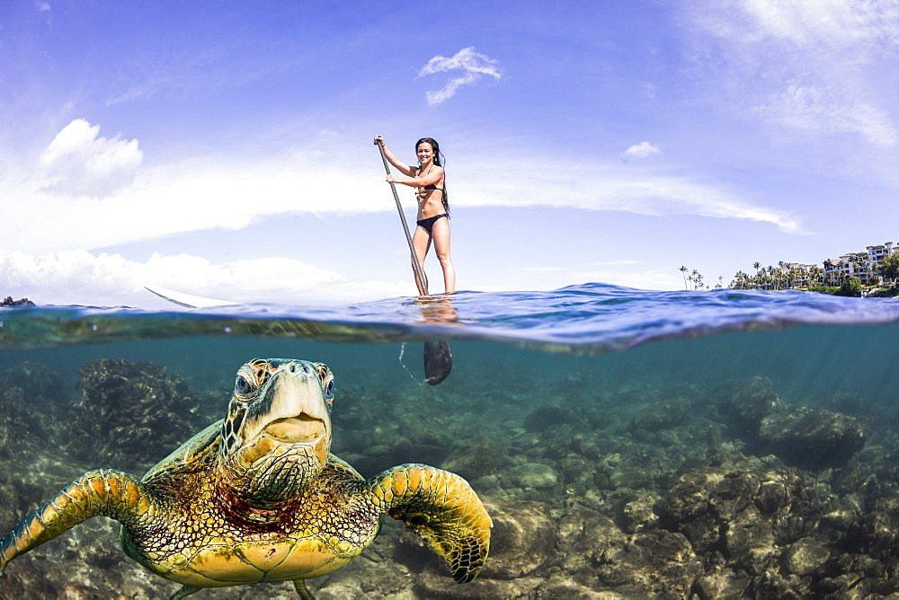 A green sea turtle (Chelonia mydas), an endangered species, surfaces for a breath in front of a stand-up paddle board off the coast of Maui, Maui, Hawaii, United States of America - 1116-41504